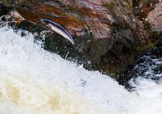 Leaping wild Atlantic Salmon. The mighty atlantic salmon travelling to spawning grounds during the summer in the Scottish highland. The salmon in this picture is Royalty Free Stock Images