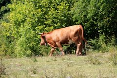 Mighty big light brown cow with large bell around neck walking on top of hill surrounded with grass and dense trees stock photography