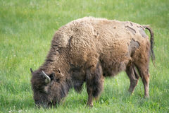 The Mighty Bison. A lone adult bison grazing in a field at Yellowstone National Park. I took many pictures of bison while at the park Royalty Free Stock Photo