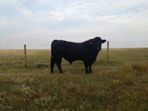 Mighty black bull in pasture Royalty Free Stock Photos