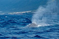 A mighty blue whale blowing as it surfaces royalty free stock photo