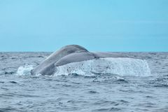 A mighty blue whale showing tail flukes. A fully grown blue whale Balaenoptera musculus with water streaming off its tail near Pico Island royalty free stock images