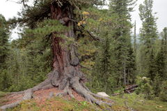 Mighty cedar in the Siberian taiga. Old wood textured base – winding in the ground, thick roots, live crown, thick trunk. Ergaki, West Sayan Mountains, Russia Stock Photos