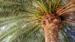 Mighty Crown of Guadalupe Island Palm Royalty Free Stock Photo