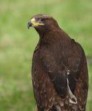 Mighty eagle Stock Photos