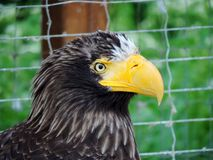 Mighty eagle. Serious mighty eagle with yellow beak Royalty Free Stock Image