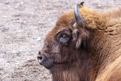 Mighty European aurochs portrait... Good quality close up portrait of a famous ancient animal: wild Eoropean aurochs (relative of the American bison or wild royalty free stock photo