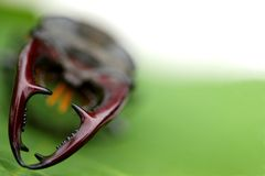 Mighty fighter stag beetle on green leaf backgroun Stock Image
