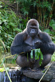 The Mighty Gorilla. Gorillas, largest of the living primates. They are the next closest relatives to humans after the two chimpanzee species. Native to Africa Royalty Free Stock Images