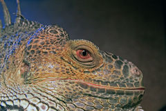 Green Iguana close-up head eyes. Close-up photo of a green iguana Royalty Free Stock Photo
