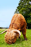 Mighty higland cattle is eating grass Stock Photography