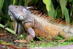 Mighty Iguana. Closeup of iguana with greenery as background Royalty Free Stock Photos