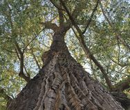 Mighty Linden Tree Stock Images