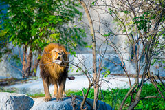 Mighty lion Stock Photography