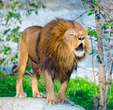 Mighty lion Royalty Free Stock Images