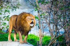 Mighty lion Stock Photos