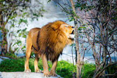 Mighty lion roars in the forest Stock Photos