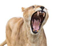 Mighty lioness Royalty Free Stock Images
