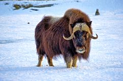 Mighty Musk Ox. Royalty Free Stock Photography