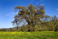 Mighty Oak Royalty Free Stock Photo