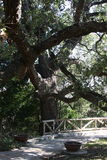 Mighty Oak. Taken is San Antonio Texas. This oak is Huge and the weight of the limbs has them close to the ground Stock Images