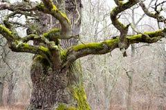 Mighty oak tree Stock Photography