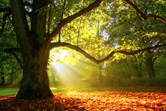 Mighty oak tree. Oak tree on a foggy sunrise Stock Photo