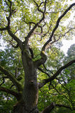 The mighty oak tree. Old mighty oak tree in a green forest Royalty Free Stock Image