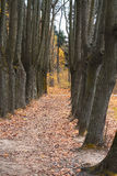 The mighty oaks trees grow along the alley in the autumn Royalty Free Stock Photo