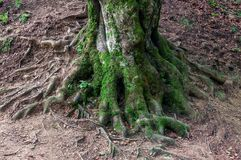 Old beech tree root. Mighty Old Beech Trees in Green Forest, Moss Covered Roots Stock Images