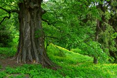 Mighty old tree Royalty Free Stock Image