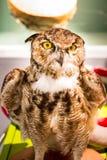 Mighty Owl Royalty Free Stock Photo