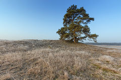 Mighty Pine Tree At Veluwe In Winter Stock Photo
