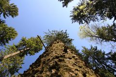Mighty Pine Tree Stock Photography