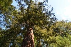 Mighty Redwood. Redwood Tree, Big Basin, California Stock Images