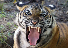 Free Mighty Roar Stock Photos - 13495583