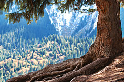 Free Mighty Root And Trunk Of Magical Giant Old Tree Stock Image - 35035891