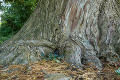 Mighty roots of a large tree. Close up Royalty Free Stock Photo