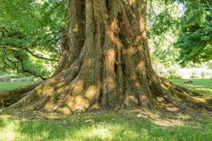 Mighty roots of a large tree. Close up Stock Image
