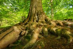 Mighty roots of a majestic beech tree Stock Image
