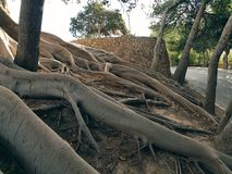 The mighty roots of the tree entangle the slope of the hill royalty free stock photo
