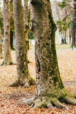 Mighty roots of trees. Trees in the autumn forest Royalty Free Stock Photography