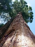 Mighty Sequoia. High in the mountains at the Sequoia National Forest in Three Rivers, California stock images