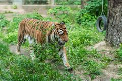 Mighty siberian tiger in a zoo. Powerful but sad mighty striped tiger walking in captivity in the zoo royalty free stock photo