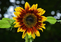 Mighty sun flower. This flower was taken in a field of sun flowers Stock Image
