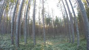 Mighty tall pine tree forest in autumn catching cold breeze. Background panning up stock video footage