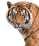 Mighty tiger. Beautiful tiger isolated on white background Royalty Free Stock Images