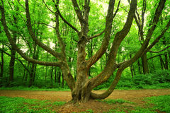 Mighty tree in forest. Mighty tree with many branches in green spring forest Royalty Free Stock Photo