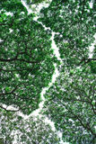 Mighty tree with green leaves. Green branches in a wood Royalty Free Stock Images