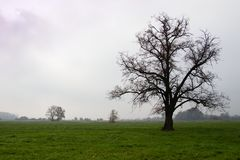 Mighty tree on pastures in autumn misty morning. Linden tree with fallen leaves, Landscape or farmland Stock Photo